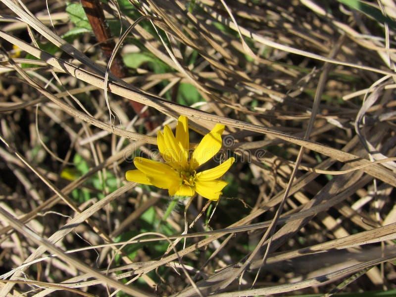 Nahaufnahme des itty bitty gelben Wildflower, der auf Kiefernstroh sitzt stockfotografie