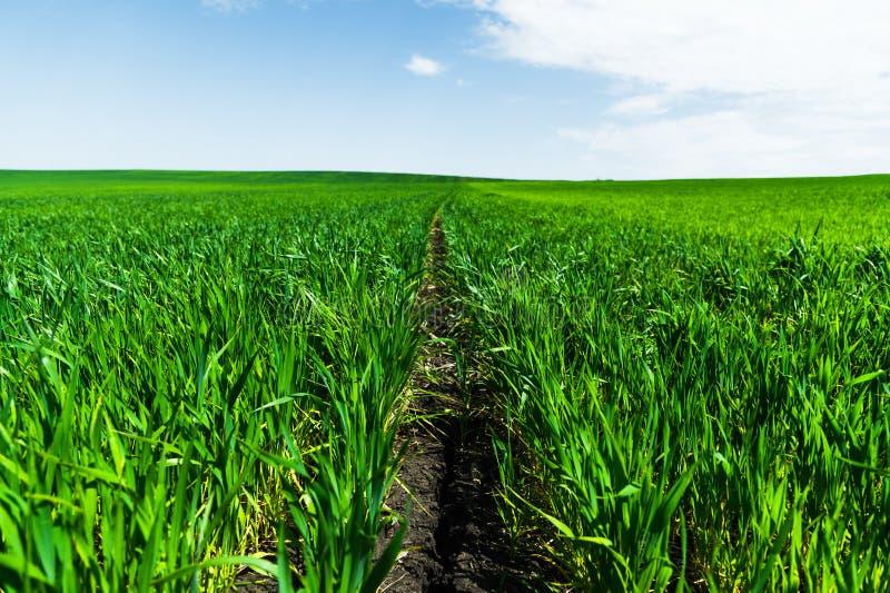 Nahaufnahme des jungen grünen Weizens auf dem Feld Beigeordneter niedrigerer Winkel Blauer Himmel und Wolken des fruchtbaren schw stockbild