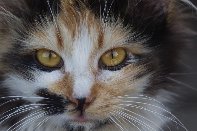 Nahaufnahme des Katzengesichtes der getigerten Katze Faunahintergrund Haustiere und Lebensstilkonzept lizenzfreies stockbild