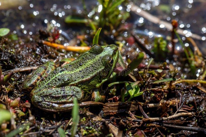 Nahaufnahme des kleinen grünen Frosches des vollen Körpers auf dem Teich lizenzfreies stockfoto