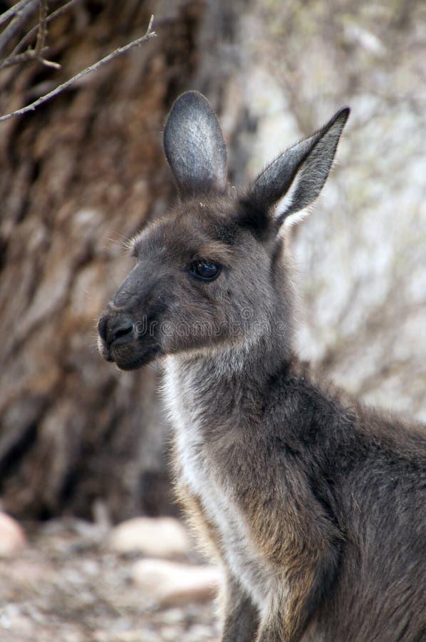 Nahaufnahme des Kopfes und des Gesichtes des erwachsenen Kängurus stockfotos