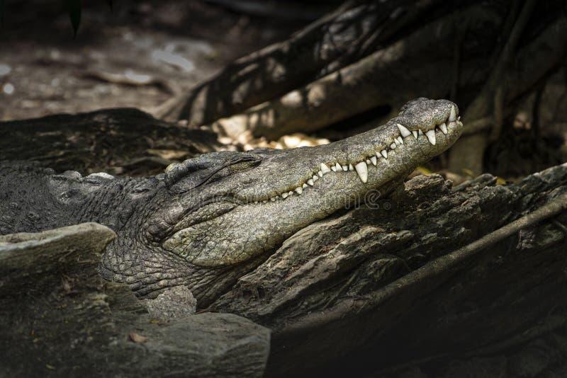 Nahaufnahme des Krokodilkopfes lizenzfreie stockfotografie