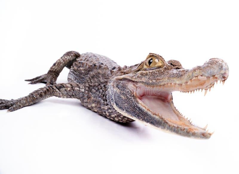 Nahaufnahme des Krokodils auf dem weißen Hintergrund stockbild