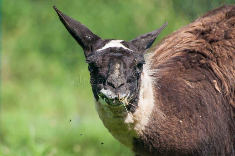 Nahaufnahme des Lamas Gras auf Weide kauend lizenzfreie stockfotografie