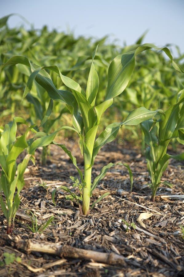 Nahaufnahme des Mais-Stiels stockbild