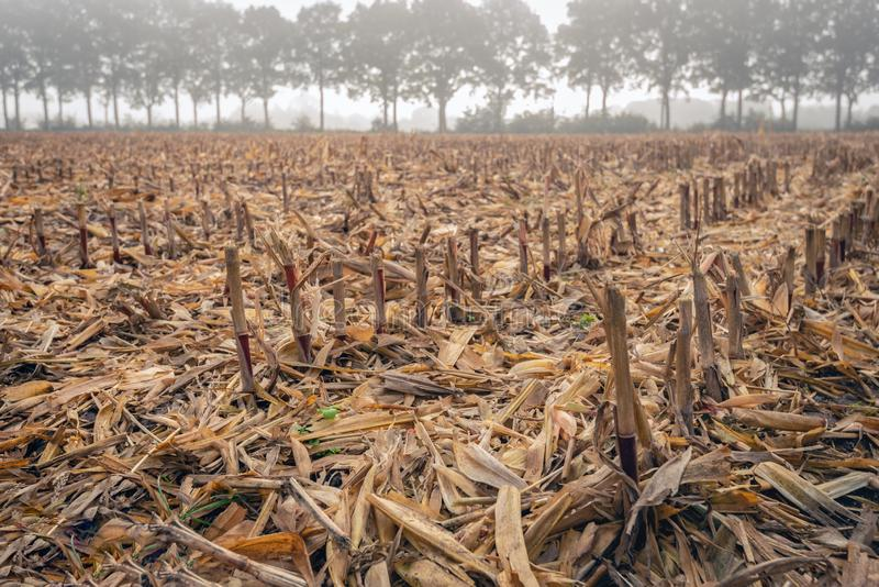 Nahaufnahme des Maisstoppelfeldes auf einem nebelhaften Morgen in der Herbstsaison stockbild