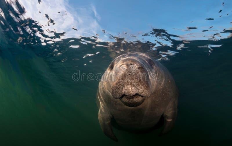 Nahaufnahme des Manatiss Unterwasser lizenzfreie stockfotos