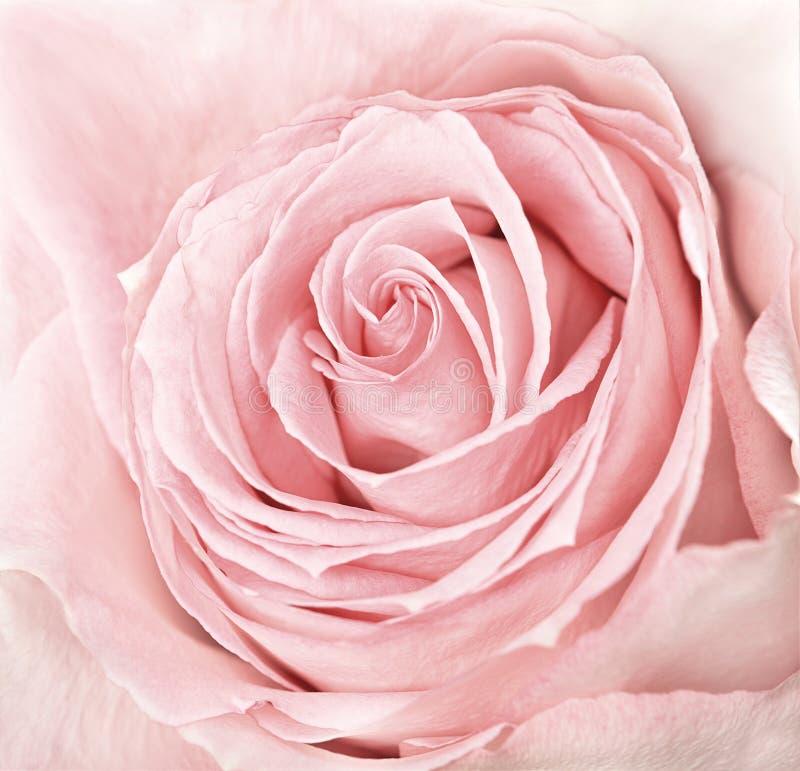 Nahaufnahme des neuen Rosas stieg lizenzfreie stockfotografie