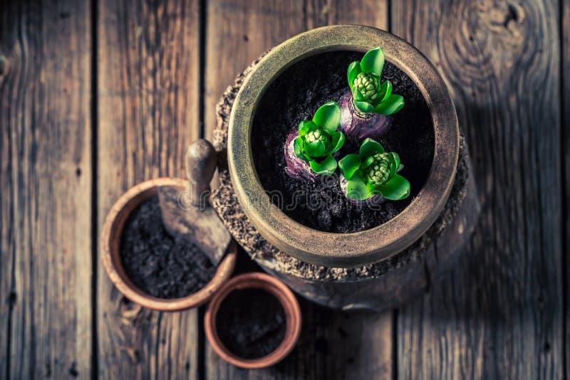 Nahaufnahme des Pflanzens der Feder blüht mit fruchtbarem dunklem Boden lizenzfreie stockfotos