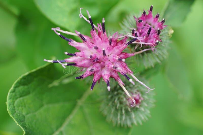 Nahaufnahme des purpurroten Blumenklette Arctium lappa im Cauca stockbild