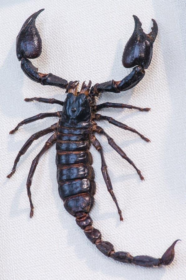 Nahaufnahme des riesigen Skorpions Indochina fand in tropischem stockfotos