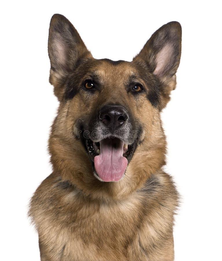 Nahaufnahme des Schäferhunds, keuchend stockbilder