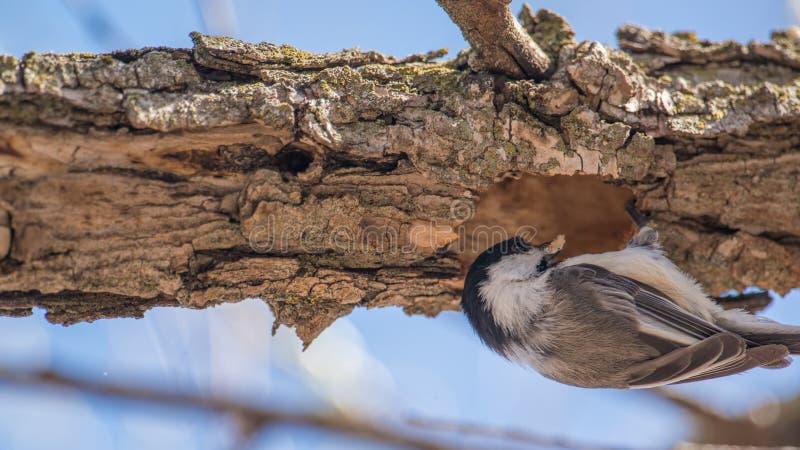 Nahaufnahme des schwarz-mit einer Kappe bedeckten Chickadee, der einen Klumpen des Holzes von einem Loch im Baumast im Vorfrühlin lizenzfreie stockfotografie