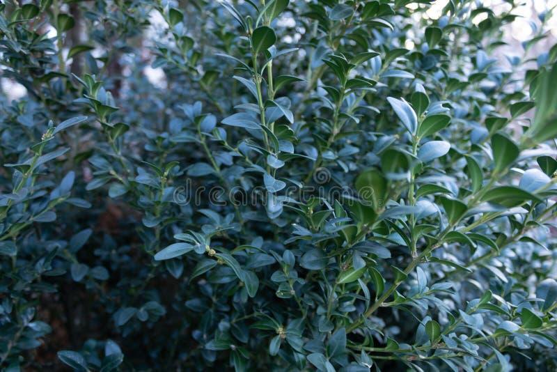 Nahaufnahme des Teils eines üppigen grünen Busches mit kleinen Blättern lizenzfreie stockfotos