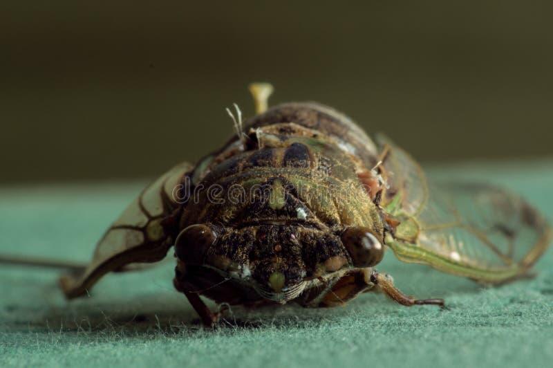 Nahaufnahme des toten Zikadengesichtes stockfotos