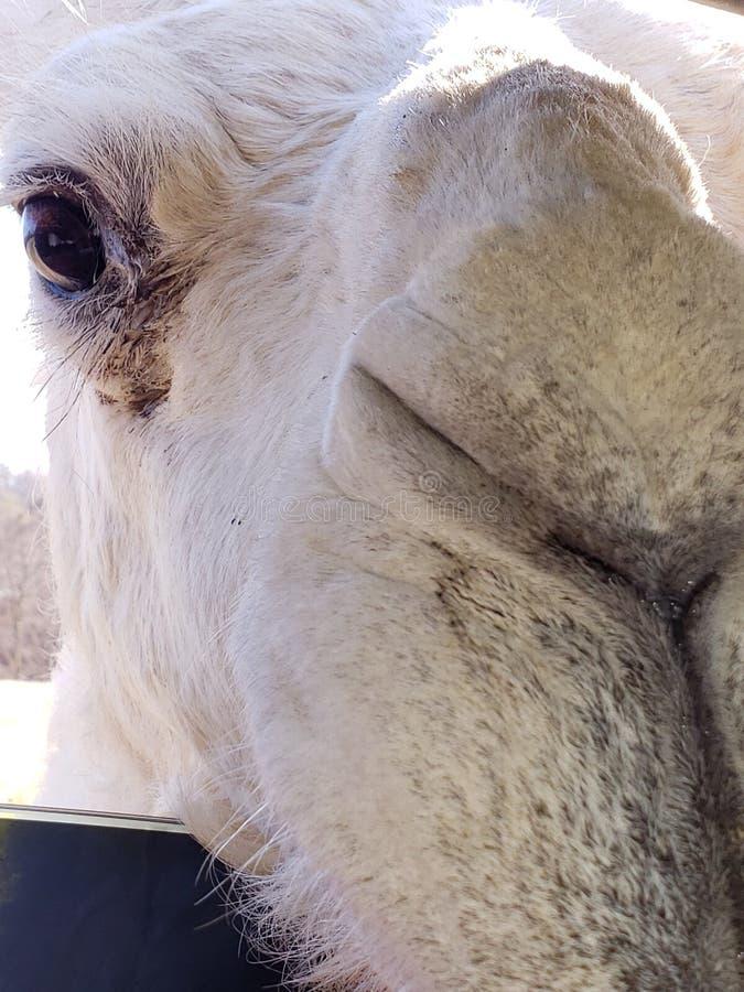 Nahaufnahme des weißen Kamelgesichtes stockfotos