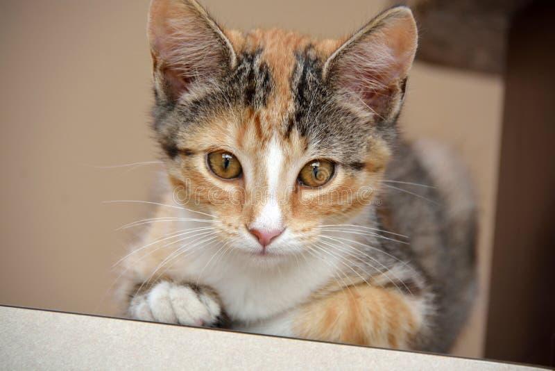Nahaufnahme des weiblichen Kalikos Kitten Laying auf dem Zähler, der direkt Kamera, schmale Schärfentiefe betrachtet lizenzfreie stockbilder