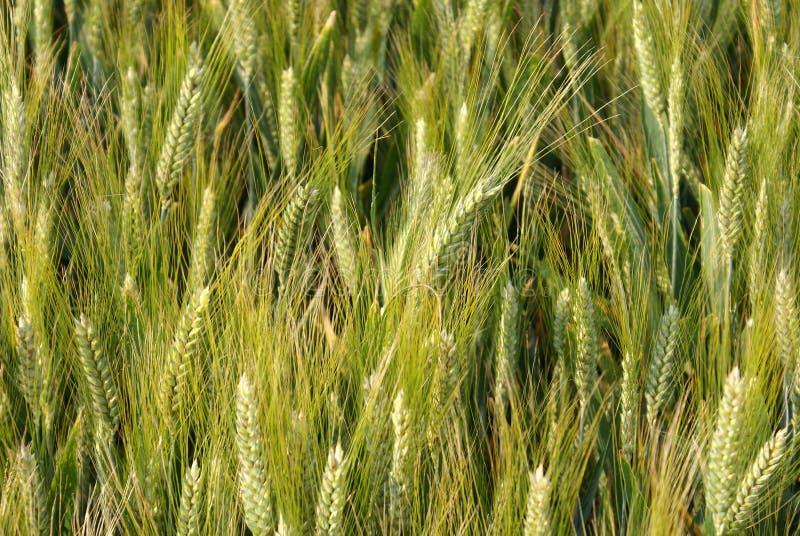 Nahaufnahme des Weizenfeldes stockbilder