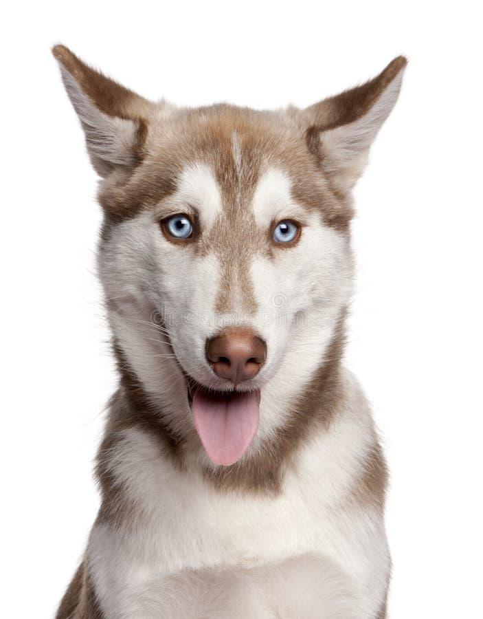 Nahaufnahme des Welpen des sibirischen Schlittenhunds, 4 Monate alte lizenzfreie stockfotos