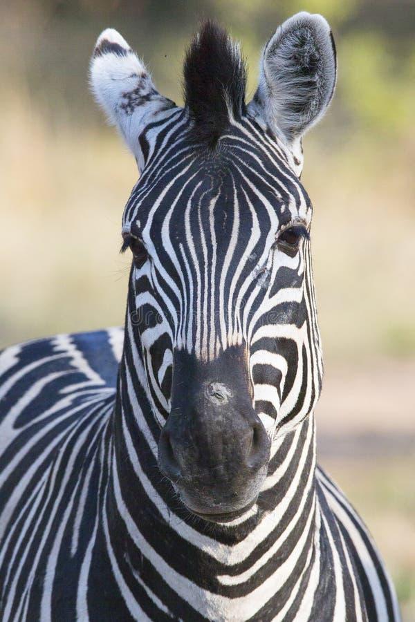 Nahaufnahme des wilden Zebras lizenzfreies stockbild