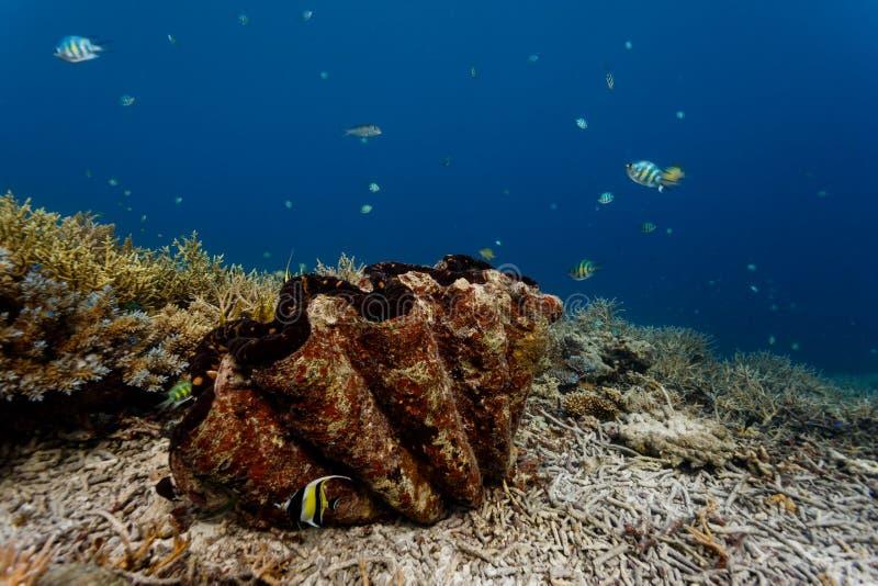 Nahaufnahme des Zickzackmusters des Oberteils Riesenmuscheln auf Korallenriff mit bunten Fischen lizenzfreie stockbilder