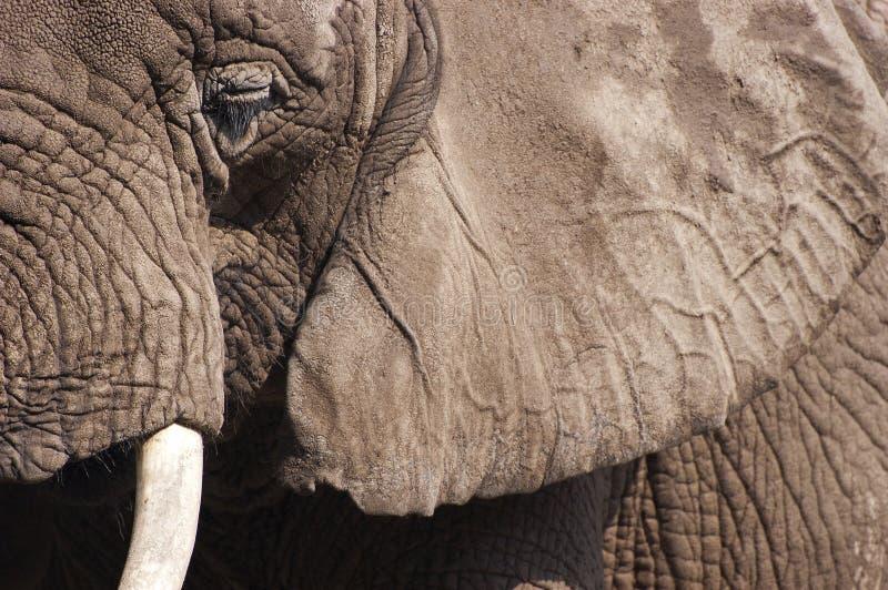 Nahaufnahme-Detail des afrikanischer Elefant-Tieres lizenzfreie stockfotografie