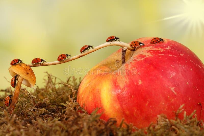 Nahaufnahme, die viele kleinen Marienkäfer auf einer Niederlassung vom Pilz auf Apple sich verschiebt Das Konzept der Bewegung od stockfotos
