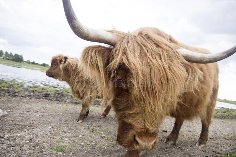 Nahaufnahme ein Hochland-des Viehs lizenzfreies stockbild