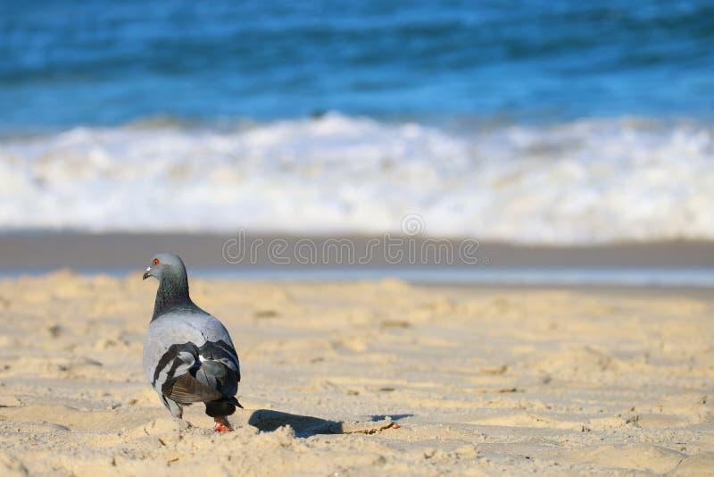 Nahaufnahme eine Taube, die auf dem sonnigen Strand mit undeutlichen spritzenden Meereswellen im Hintergrund sich entspannt stockfotografie