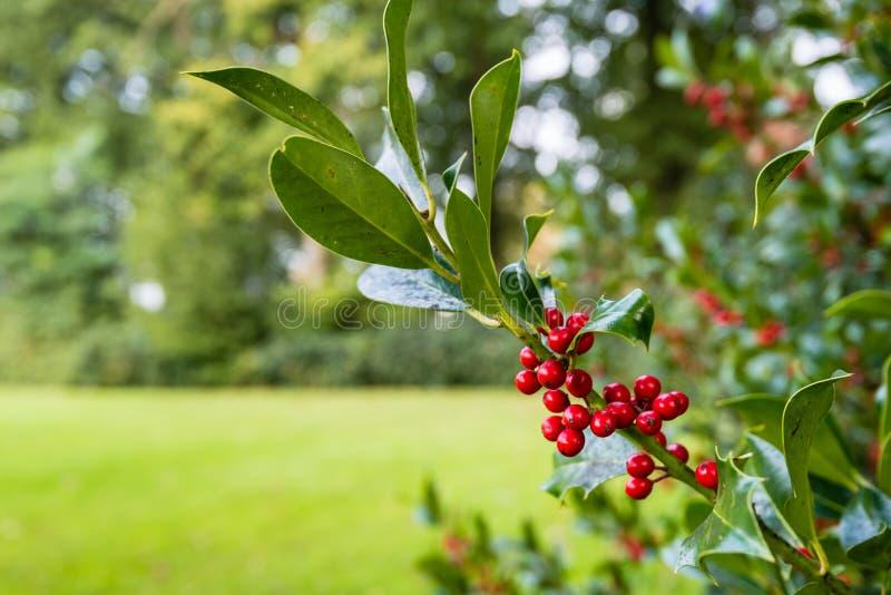 Nahaufnahme einer allgemeinen Stechpalmenniederlassung mit roten Beeren lizenzfreie stockfotos
