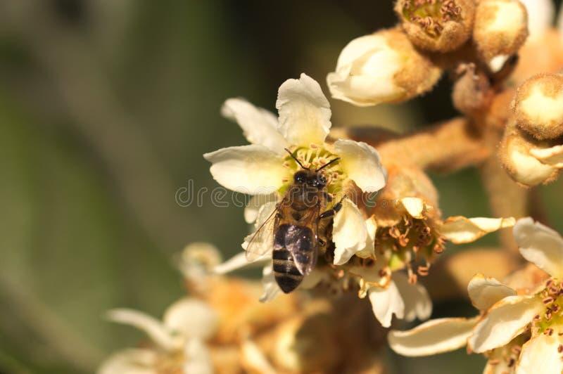 Nahaufnahme einer Biene, die Blütenstaub unter den Blumen eines Loquatbaums sammelt lizenzfreies stockfoto