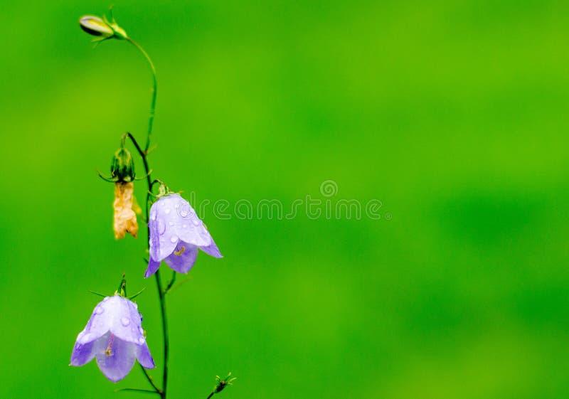 Nahaufnahme einer blauen Bell-Blume lizenzfreie stockbilder