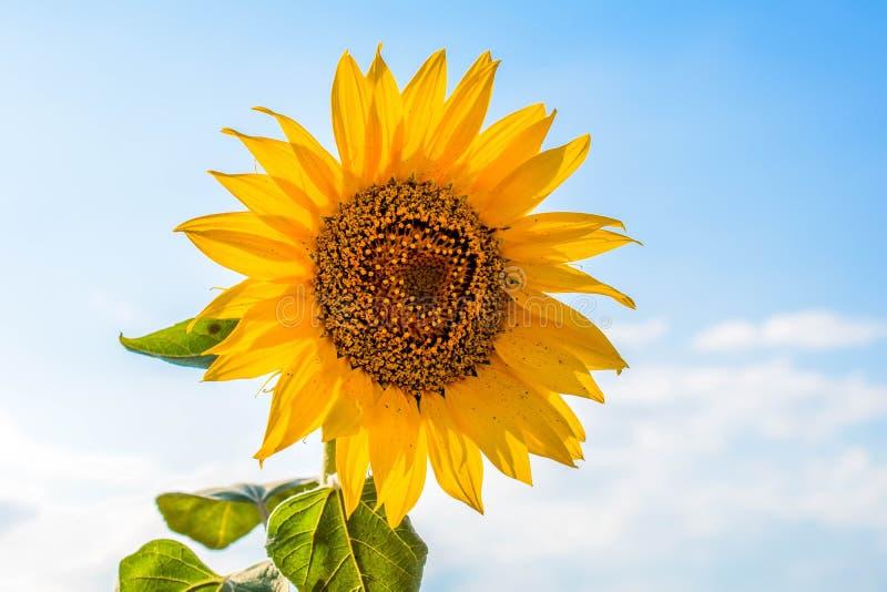 Nahaufnahme einer einsamen hellen gelben Sonnenblume gegen einen blauen Himmel stockfotos