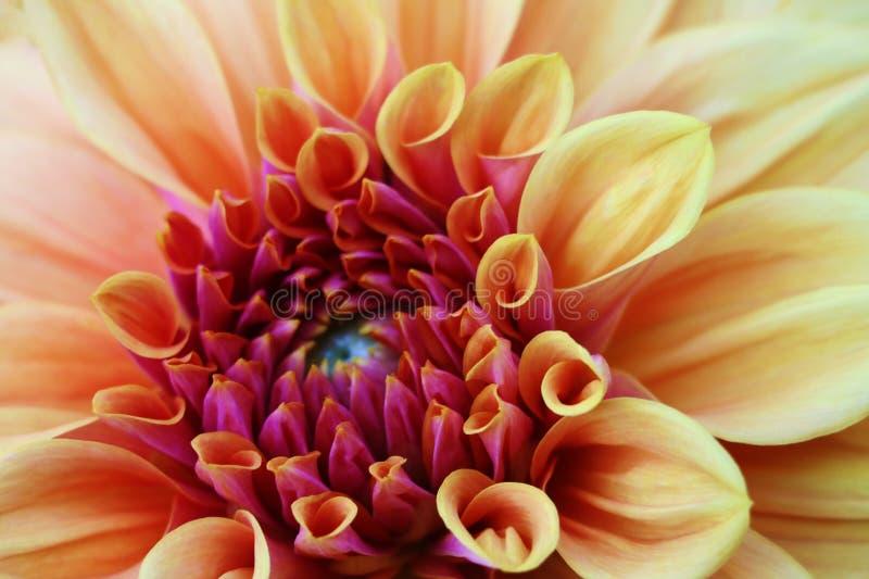 Nahaufnahme einer einzelnen Orange, gelb-rote Dahlienblüte Die nationale Blume von Mexiko lizenzfreie stockfotografie
