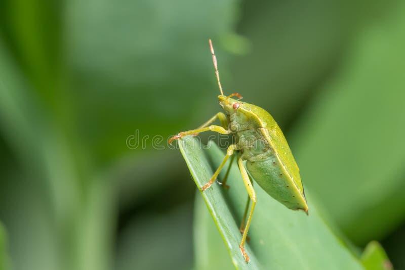 Nahaufnahme einer erwachsenen grünen Schildwanze, die auf einem grünen Blatt sitzt lizenzfreies stockbild