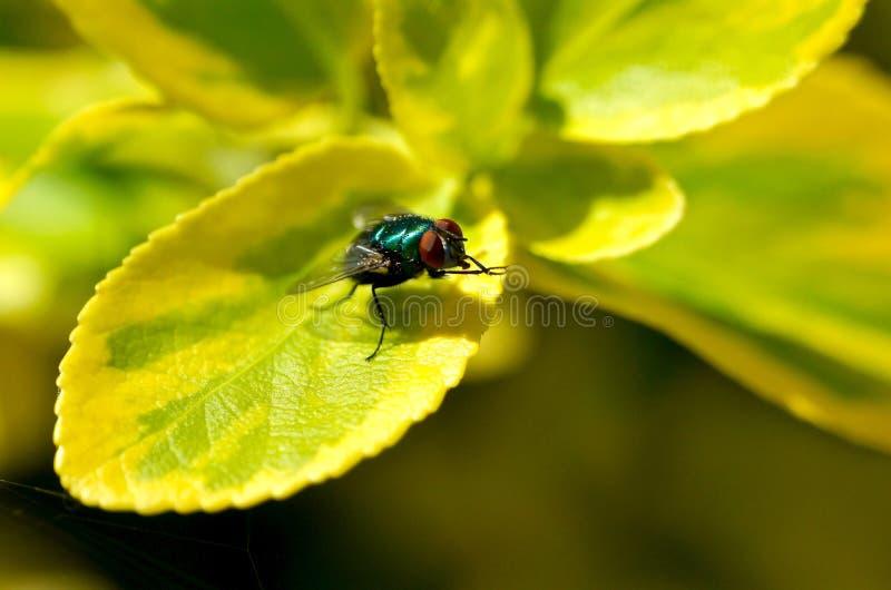 Nahaufnahme einer Fliege auf einem grünen Blatt lizenzfreie stockbilder