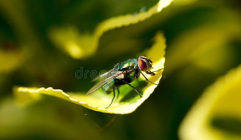 Nahaufnahme einer Fliege auf einem grünen Blatt lizenzfreie stockfotografie