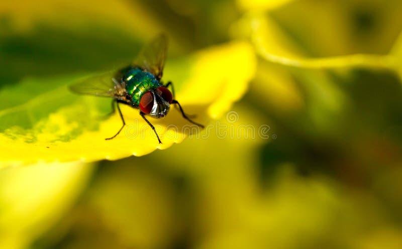 Nahaufnahme einer Fliege auf einem grünen Blatt stockfotografie