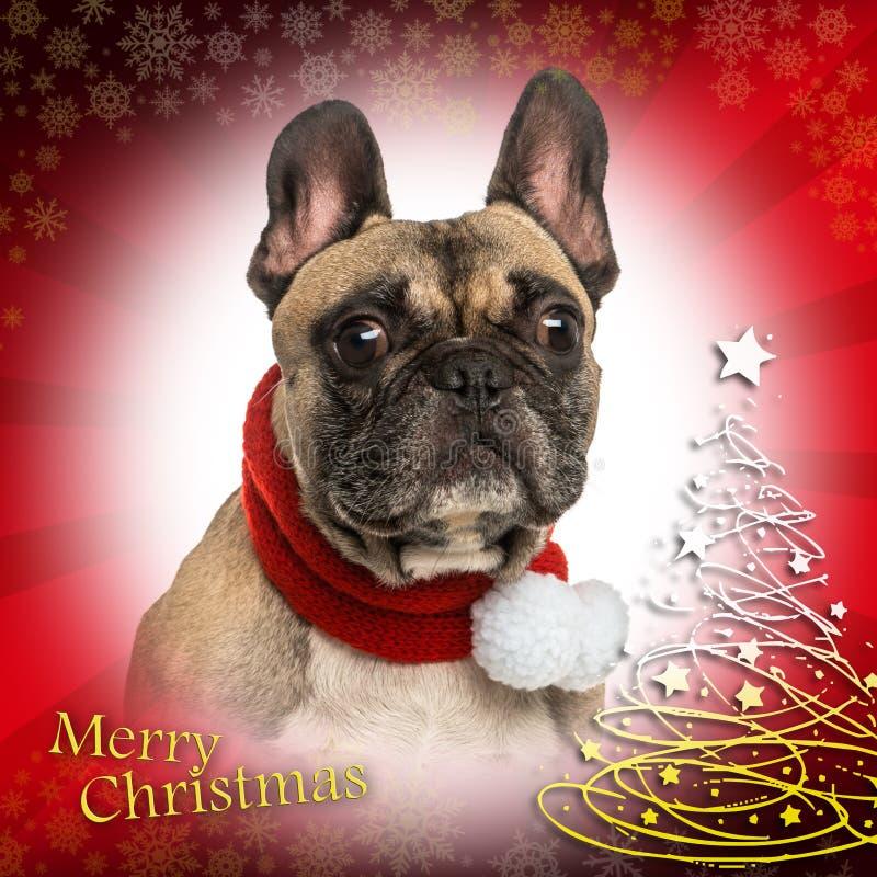 Nahaufnahme einer französischen Bulldogge auf Weihnachtshintergrund stockbild