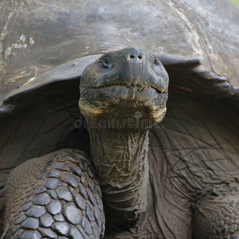 Nahaufnahme einer Galapagos-Schildkröte - Santa Cruz Island, Galapagos stockbild