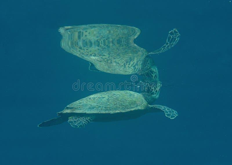 Nahaufnahme einer grünen Meeresschildkröte, Chelonia mydas schwimmend zur Oberfläche zum Atem lüften mit Remorafischen, Echeneis  stockbild