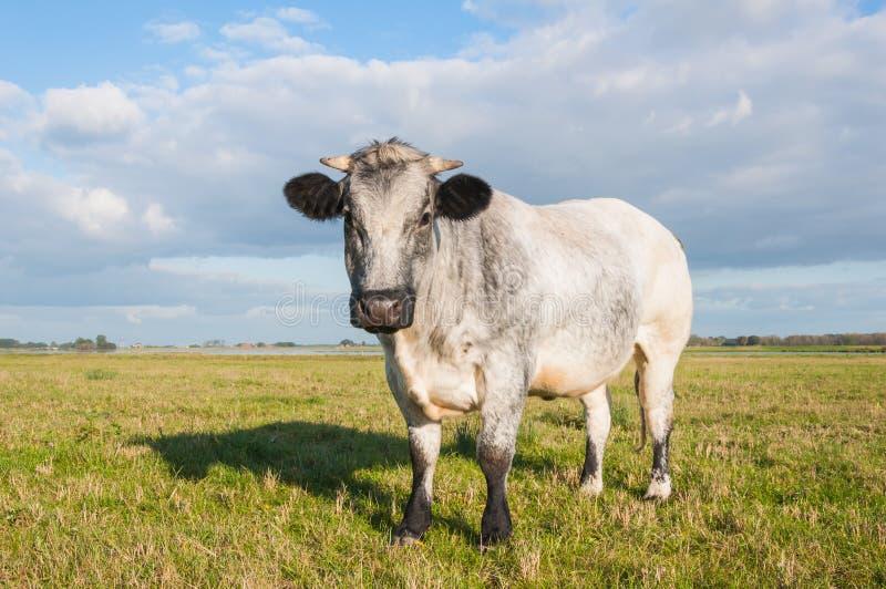 Nahaufnahme einer grauen Kuh stockbild
