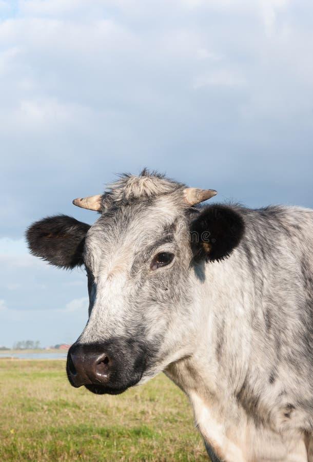 Nahaufnahme einer grauen Kuh stockfoto