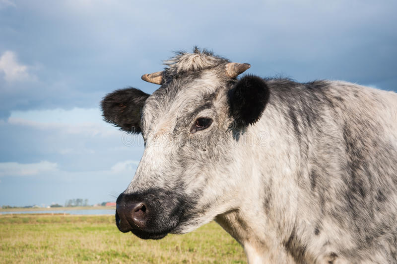 Nahaufnahme einer grauen Kuh stockbilder