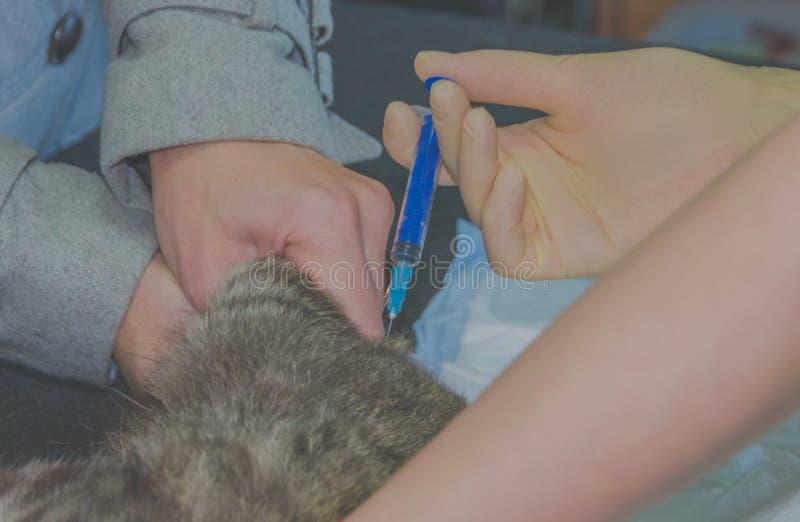 Nahaufnahme einer Katze, der Tierarzt macht eine Einspritzung stockbilder
