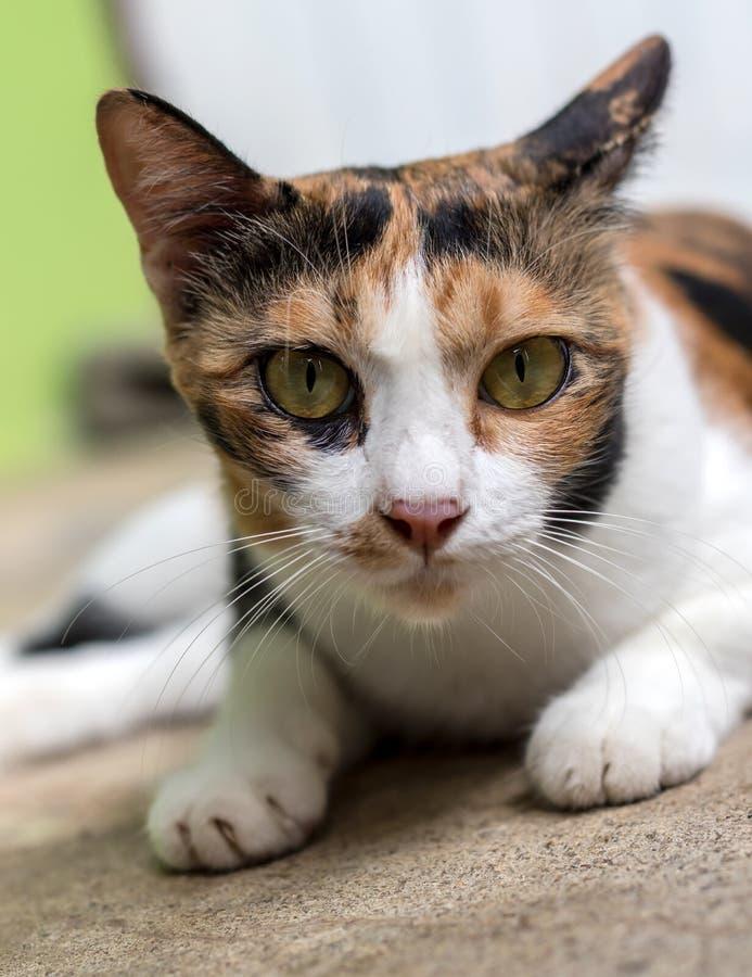 Nahaufnahme einer Katze mit gelben Augen lizenzfreies stockbild