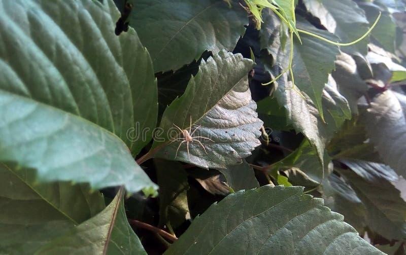 Nahaufnahme einer kleinen hellen Spinne auf den grünen Blättern von wilden Trauben stockbild