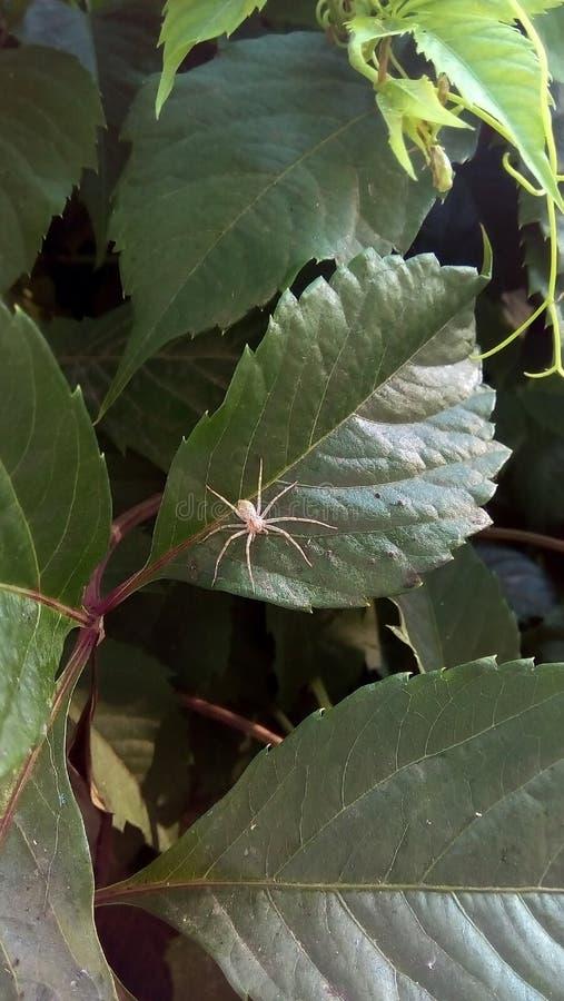 Nahaufnahme einer kleinen hellen Spinne auf den grünen Blättern von wilden Trauben stockfoto