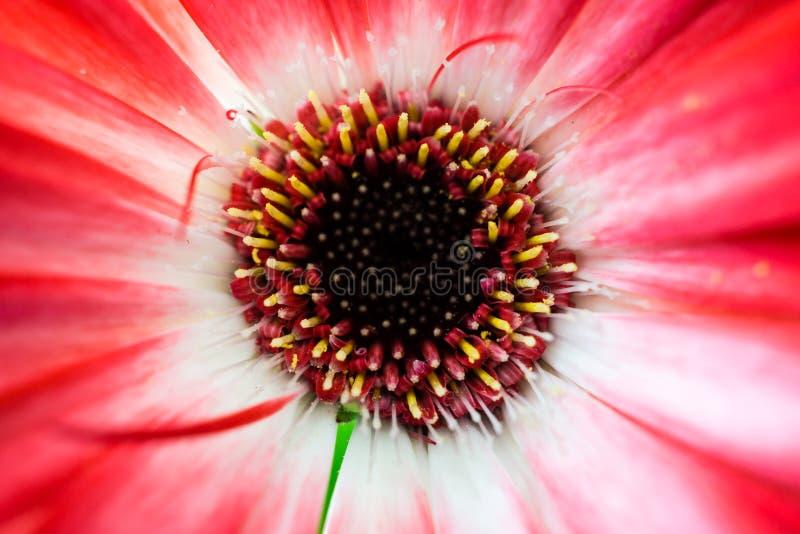 Nahaufnahme einer kleinen, tiefroten Blume von oben stockfotografie