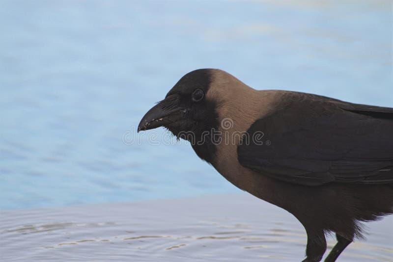 Nahaufnahme einer Krähe, die kommt, durch das Pool zu trinken lizenzfreies stockfoto